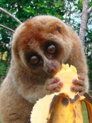 Slow Loris Pet